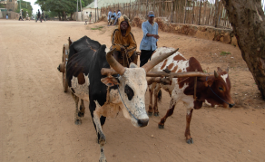 Cattle Robbery Threatens Madagascar's Peace and Security