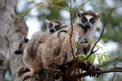 Hunger is forcing desperate families to break ancient taboos and eat lemurs as well as other bush meat - pushing some flagship species to the brink of extinction.