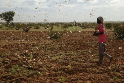 Locust swarm in Mauritania (file photo).