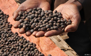 Saving Ethiopia's Coffee Industry From Climate Change