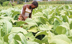 Child Labourers Poisoned on Zimbabwe Tobacco Farms - Report
