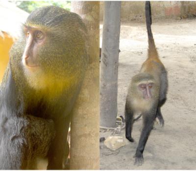 New Monkey Species Identified in DR Congo