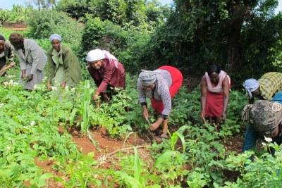 Communal agriculture in Kenya.
