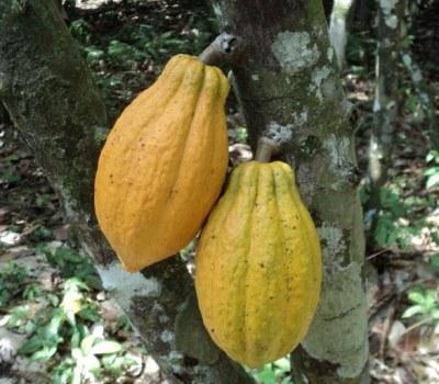 Liberia: The Cocoa Comeback