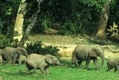 Forest elephants in Liberia.