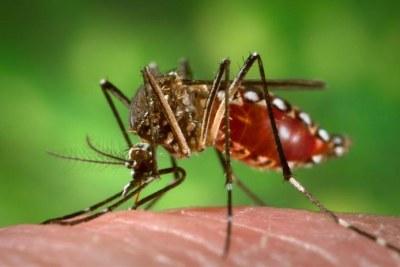 Le moustique Aedes aegypti est impliqué dans la transmission du virus Zika.
