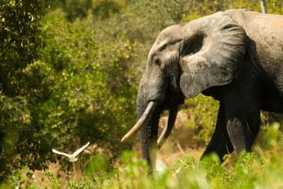 Un éléphant au Ghana.