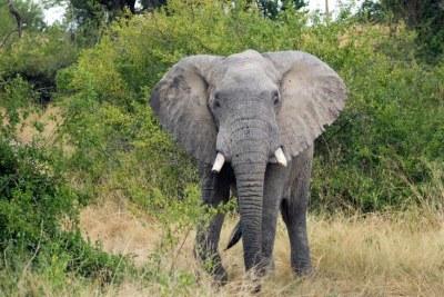 Des éléphants de Forêt