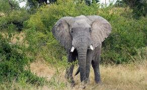 Des éléphants ravagent les plantations au Gabon
