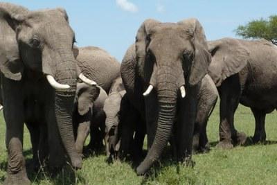 Un troupeau d'éléphants.