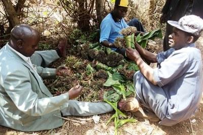 Miraa farmers at Laare in Ntonyiri, Meru County prepare the twig for sale.