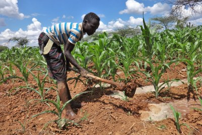 Farmer working on his maize farm in Kenya (file photo).