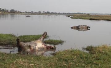 Une centaine d'hippopotames morts dans le parc national namibien de Bwabwa