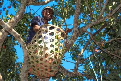 Sur un arbre, un homme participe à la cueillette du litchi à Madagascar (photo d'illustration).