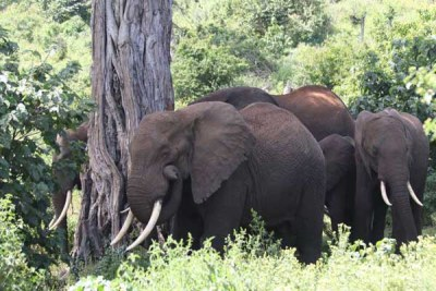 A herd of elephants grazing (file photo).