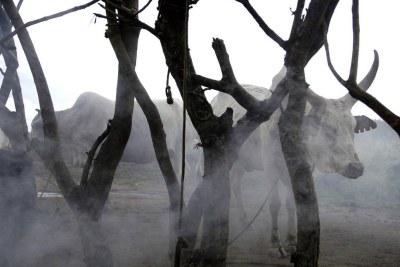 Du bétail dans l'Etat de Jonglei, au Soudan du Sud (archives).