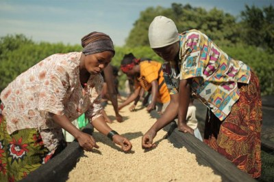 Women sorting and drying coffee beans.