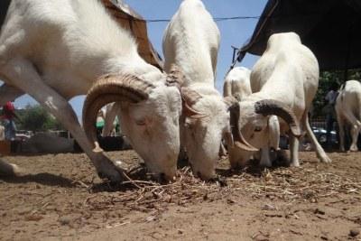 Des moutons dans un point de vente pour la Tabaski.