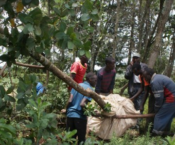 Not Pub Hopping ... Tree Hopping Says Kenya's Farmers