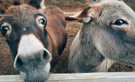 Is Donkey the New Beef?