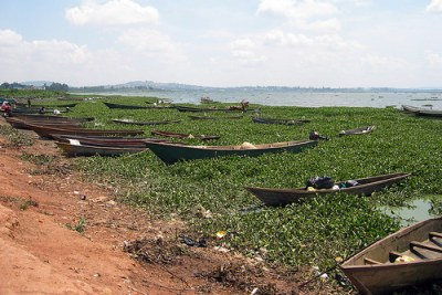 Boats along the shore of Lake Victoria surrounded by water hyacinth.