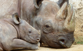 Namibia Loses Fewer Rhinos, But 50 a Year Still Too Many