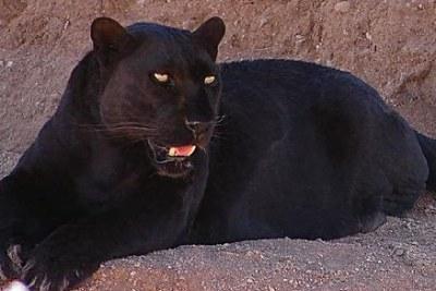 Léopard noir, plus souvent appelé Panthère noire.