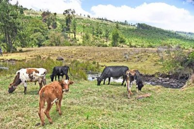 Cows graze near a stream in Talal, Elgeyo-Marakwet County near the site where the Kimwarer multipurpose dam is supposed to be constructed.