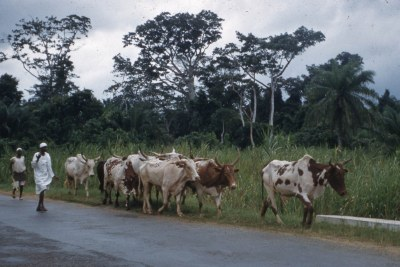 Fulani cattle being driven into Lagos from the North (tsetse free area) for slaughter. West Nigeria
