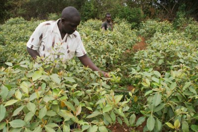 Joshua Mugo and one of his employees tend to muguka crops in Gachuriri, a village in central Kenya, August 9, 2019.