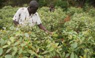 Kenyan Farmers Abandon Food Crops For 'Green Gold'