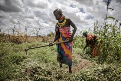 Un agriculteur travaille dans un champ de sorgho dans la région de Turkana, au Kenya.