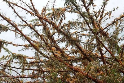 Desert locusts destroy vegetation at Mukinyai Farm in Kenya's Nakuru County.