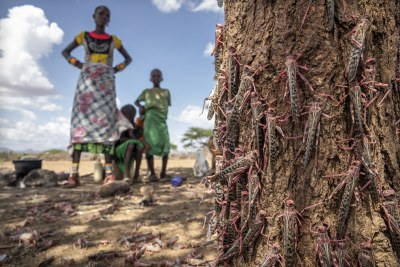 Desert Locusts are partially sedated, paralysed, gather around trees and will die within 48 hours after aerial spraying (file photo).