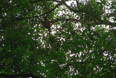 Preuss's red colobus at Edo forest