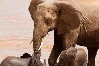 African elephants in Botswana (file photo).