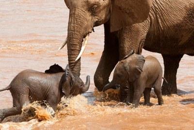 Eléphants africains au   Botswana