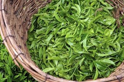 Freshly picked tea leaves (file photo).