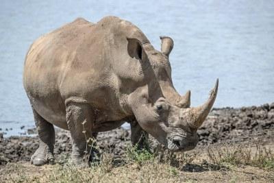 A  white rhino in the Lewa Conservancy (file photo).