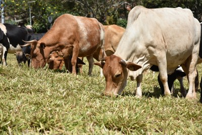 Cattle grazing on Brachiaria grass at the International Livestock Research Institute campus in Nairobi (file photo).
