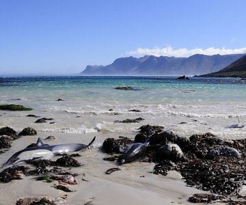 Dolphin Rescue in Rooi Els, South Africa